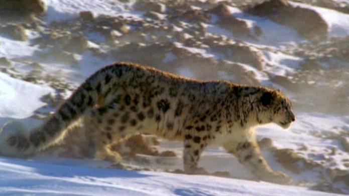 Leopard Spirit Animal Leopard Image Hd
